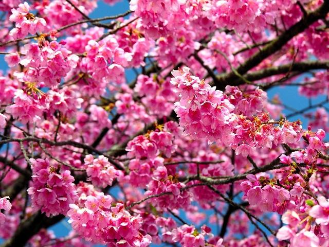 vivid cherry blossoms