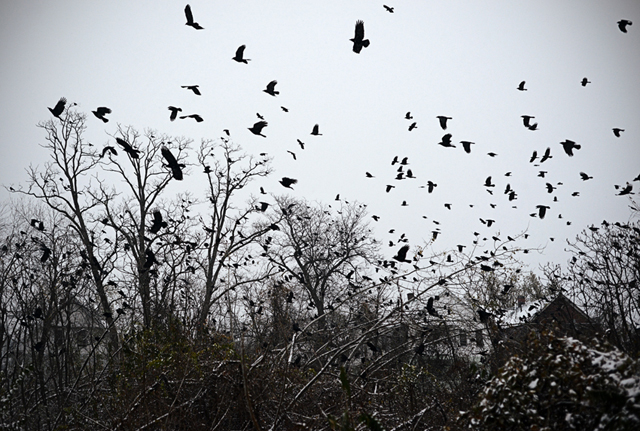 crows over snow