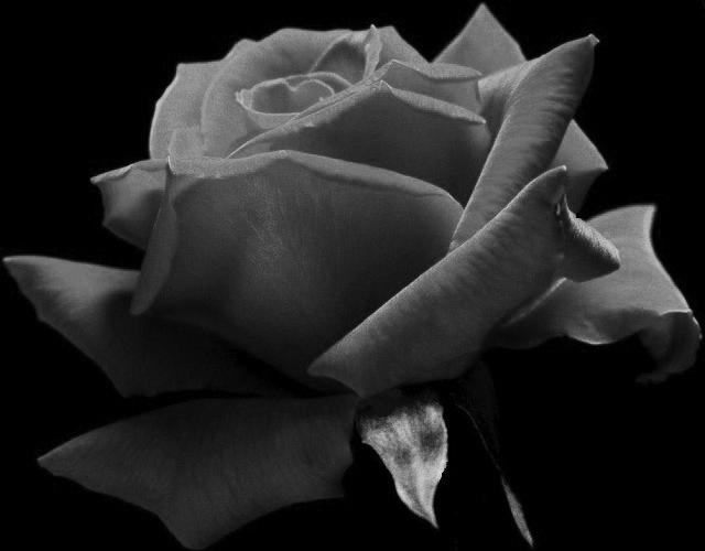 gray rose 640