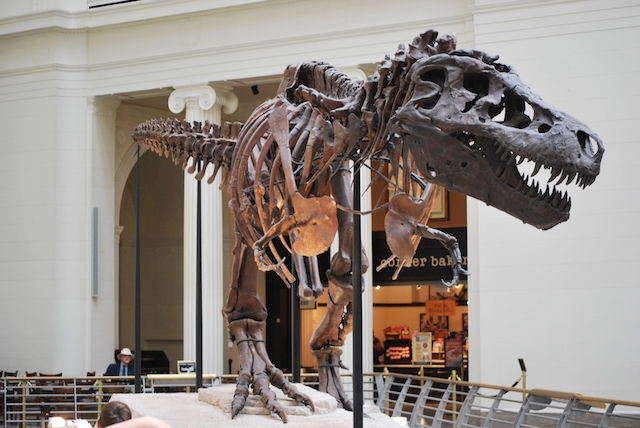 The infamous 'Sue' specimen of T. rex from the Chicago museum. Photo credit: OnFirstWhoIs. Licensed CC BY-SA.